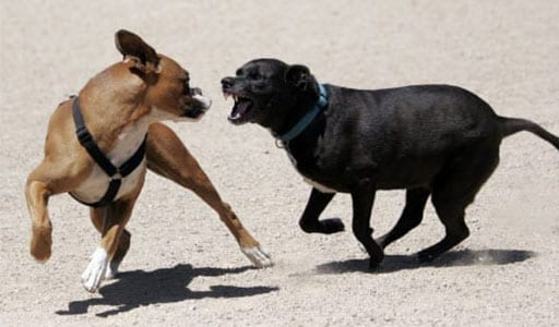angry dogs fighting