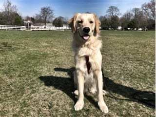 dog preparing for obedience training